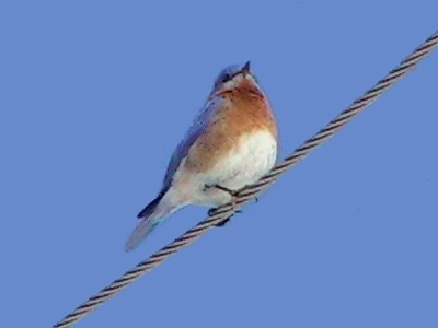 Bluebird on wire 2