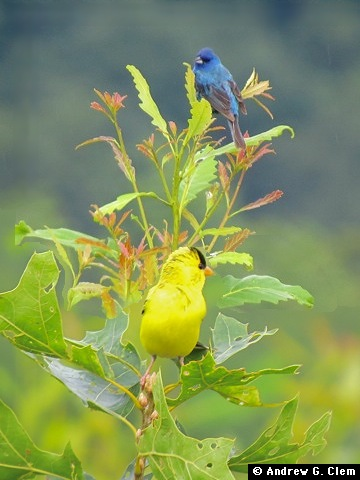 Goldfinch, Indigo Bunting