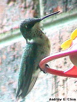 Hummingbird juv. male