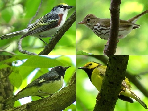 Birds montage 27 May 2016