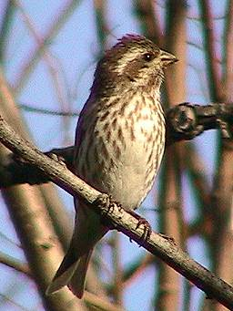 Purple Finch F