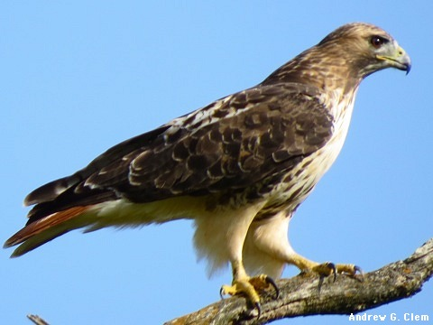 Red-tailedHawk
