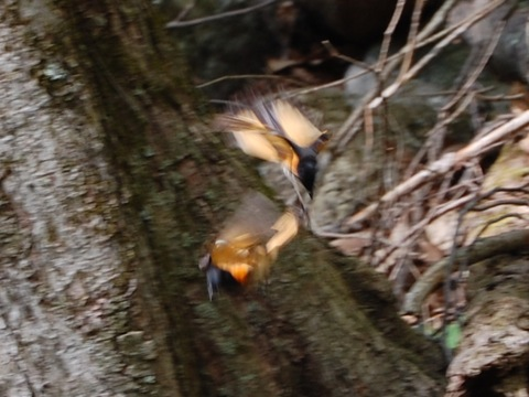 Redstart fight 1