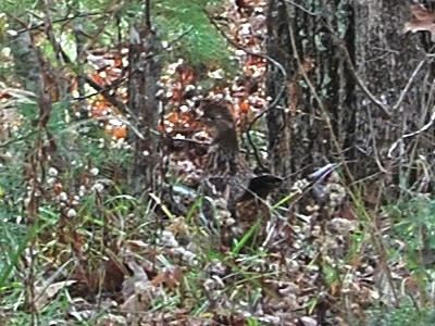 Ruffed Grouse 1