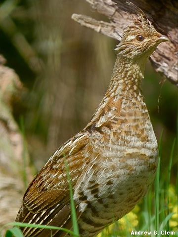 Ruffed Grouse, F & J