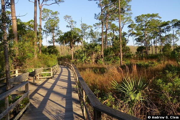 Corkscrew Swamp boardwalk pines