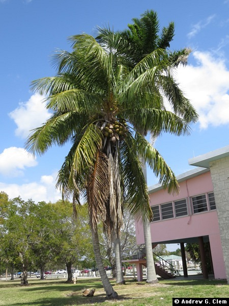 Everglades Flamingo coconut tree