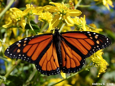 Monarch butterfly spread wings