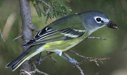 Blue-headed Vireo