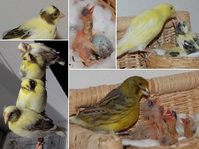 Canary photo montage