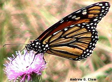 Monarch_butterfly, thistle