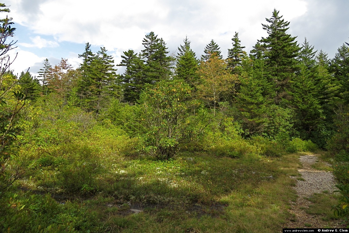 Dolly Sods spruce trees, bog